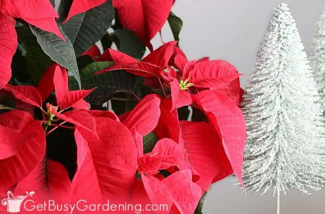 Using poinsettias for Christmas decorations