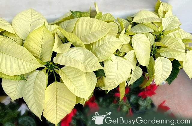 White poinsettia plants growing indoors