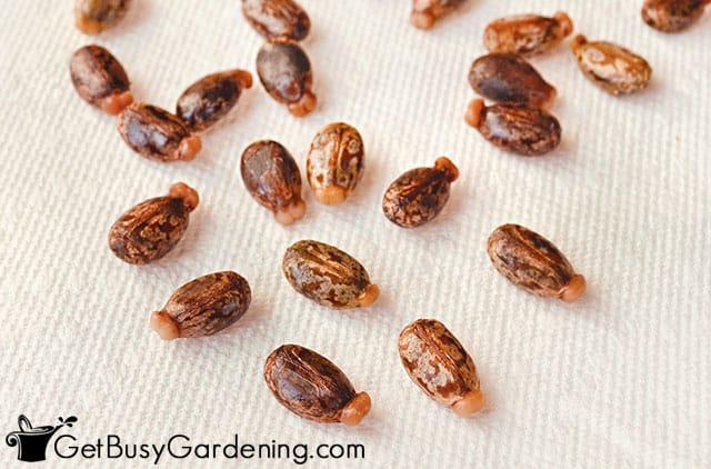 Castor plant seeds after soaking