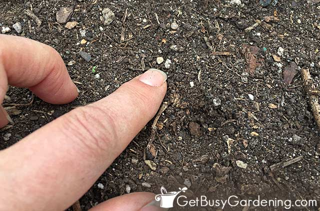 How To Grow Spinach From Seed Step By Get Busy Gardening