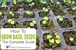 How To Grow Basil From Seed: Complete Guide