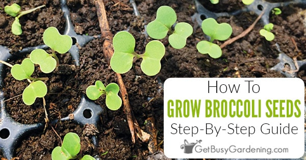 How To Grow Broccoli From Seed Step By Get Busy Gardening