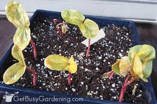 Growing castor bean seedlings indoors