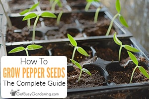 How To Grow Peppers From Seed: A Complete Guide