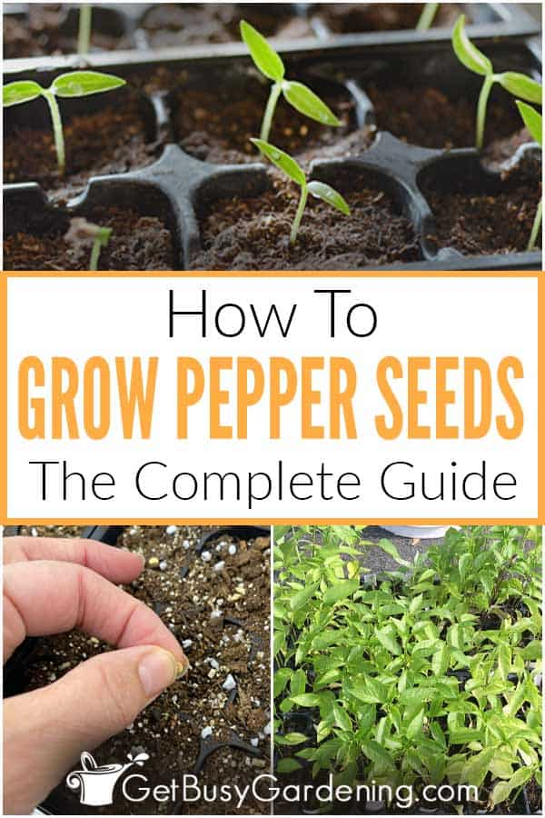 How To Grow Pepper Seeds The Complete Guide