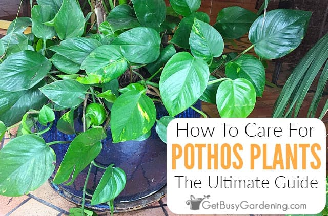How To Care For A Pothos Plant Devil S