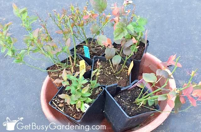Different types of blueberry bushes ready for planting
