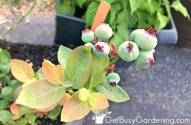 Blueberries starting to form on the plant
