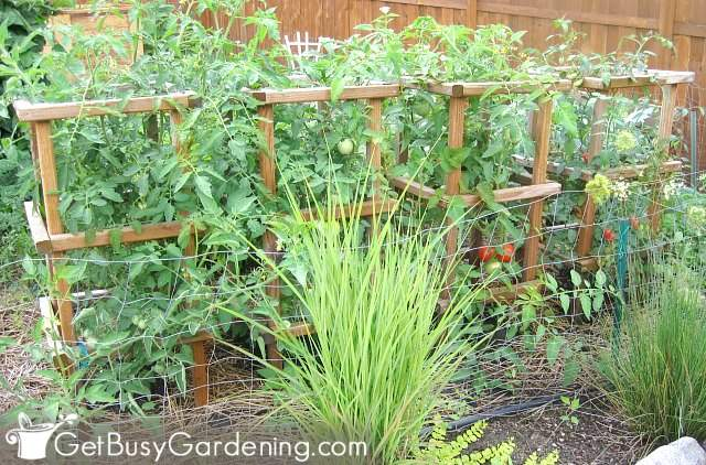 Full grown plants in wooden tomato cages