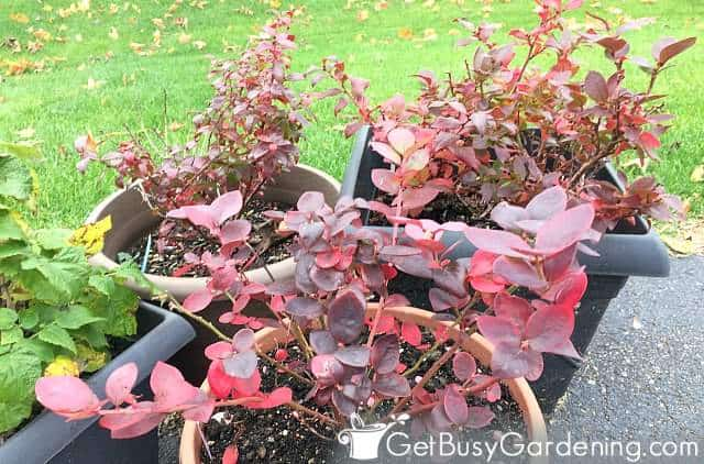 Gorgeous red foliage on blueberry plants in fall