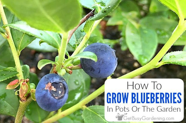 How To Grow Blueberries In Pots Or The Garden