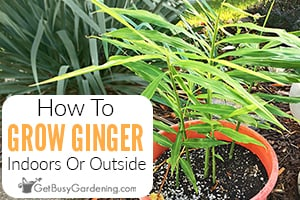 How To Grow Ginger Root Indoors Or Outside