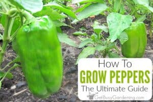 How To Grow Peppers: The Ultimate Guide