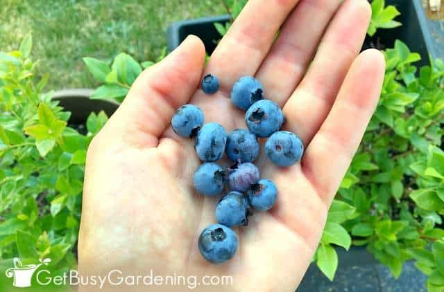 Harvesting blueberries from my garden