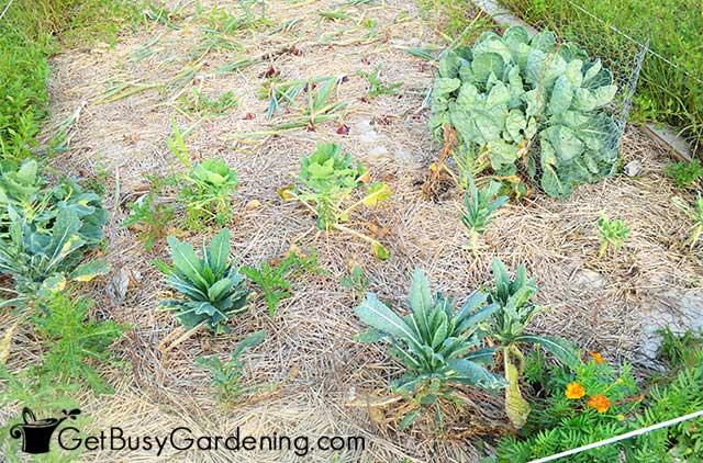 Mulching vegetable garden to retain soil moisture