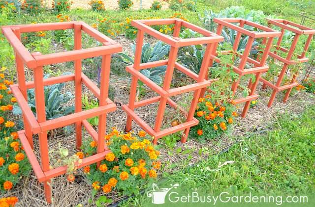 My homemade tomato cages stained orange