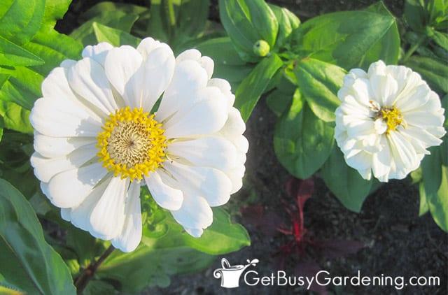 Beautiful white zinnias