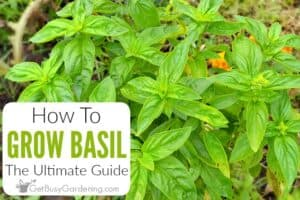 How To Grow Basil: The Ultimate Guide