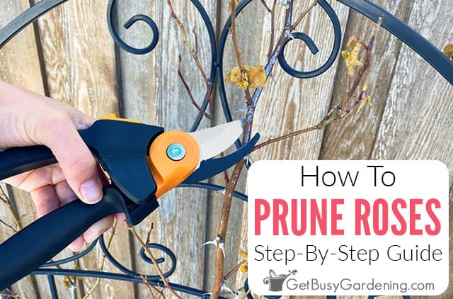How To Prune Roses A Step By Step Guide Get Busy Gardening