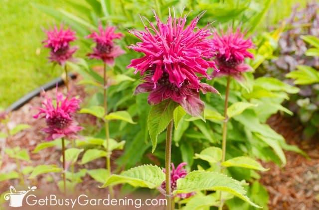 Bee balm rain garden basin plant