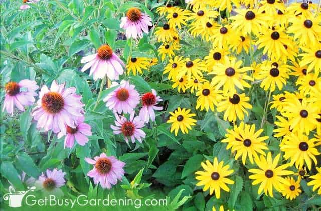 Coneflower and rudbeckia flowers