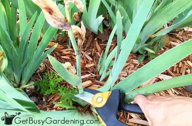 Cutting back faded iris flowers