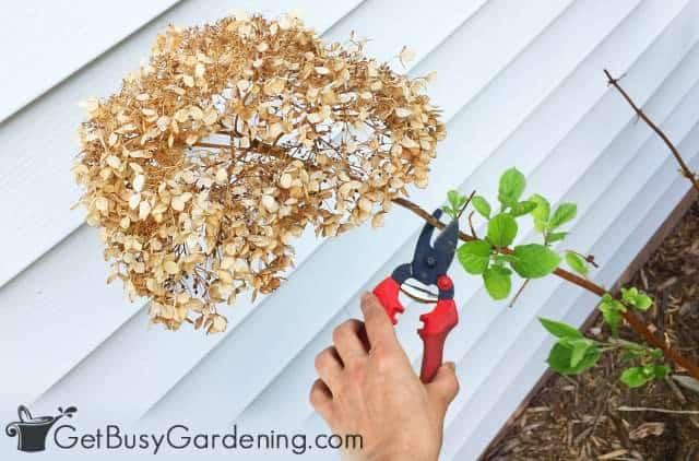 Removing dead hydrangea flowers in spring