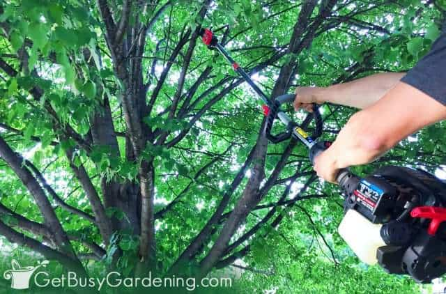 Trimming our linden tree using a pruning saw