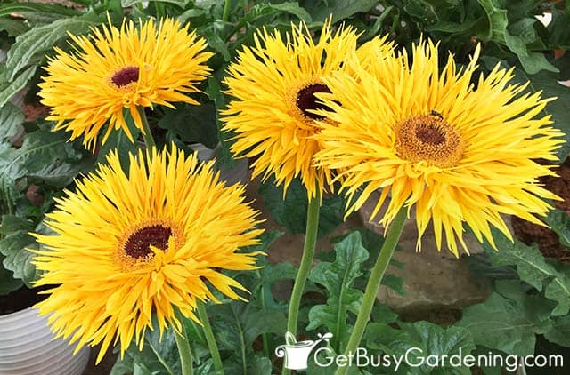 Beautiful yellow gerbera flowers