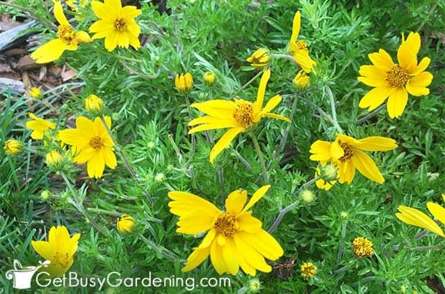 Bidens 'Popstar' yellow annual flowers