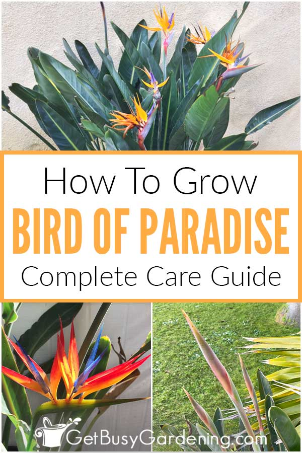 How To Grow Bird Of Paradise: Complete Care Guide