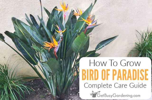 Bird Of Paradise Plant Care & Growing Guide