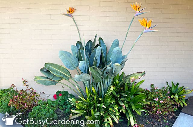 Bird of paradise plant growing in a garden