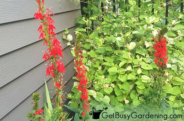 Bright red cardinal flowers in the garden