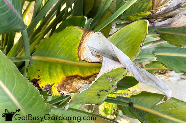 Brown leaves on bird of paradise plant