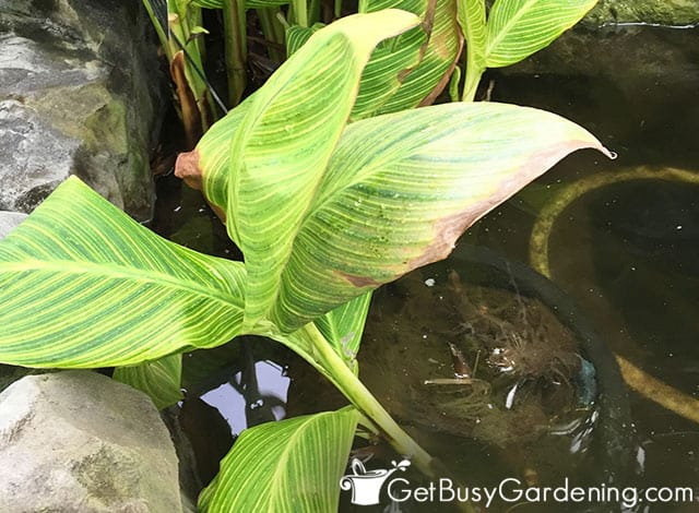 Canna lilies growing in water