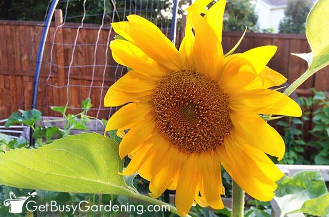 Cute bright yellow sunflower