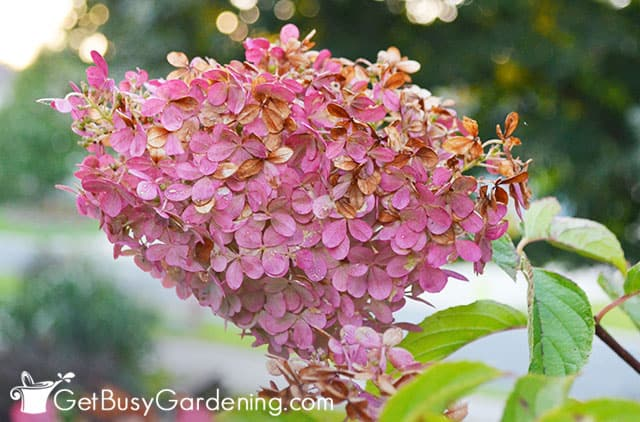 Dark pink flowers on vanilla strawberry hydrangea tree