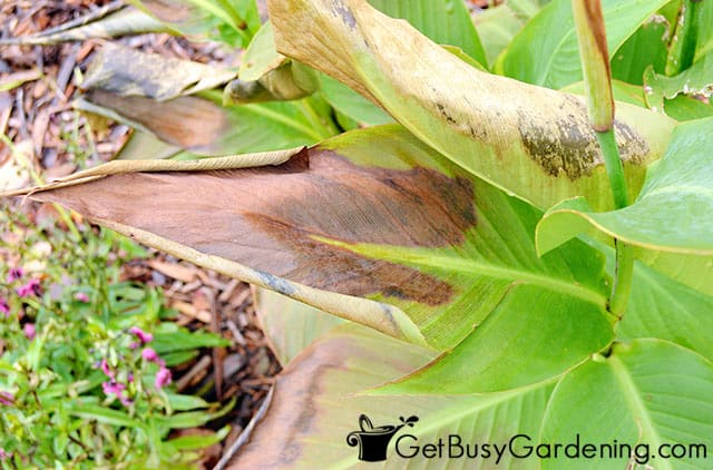 Frost damaged canna lily leaves