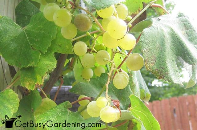 Grapes on my backyard vine