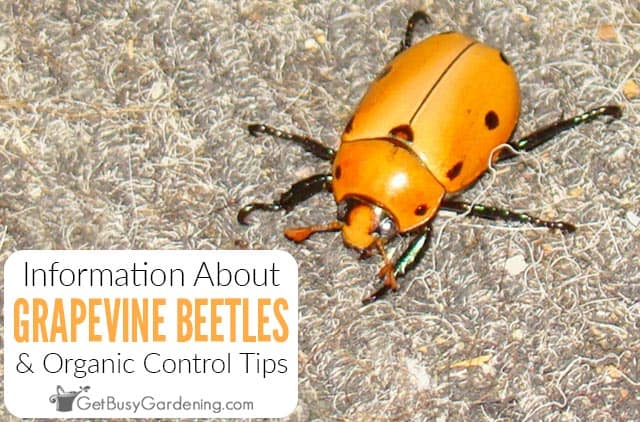 Grapevine Beetle Information & Organic Control Tips