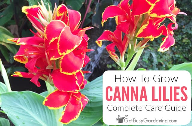 How To Grow Canna Lilies: Complete Care Guide