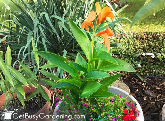 Growing canna lily in a pot