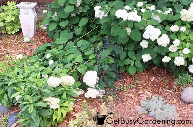 Heavy hydrangea flowers falling over