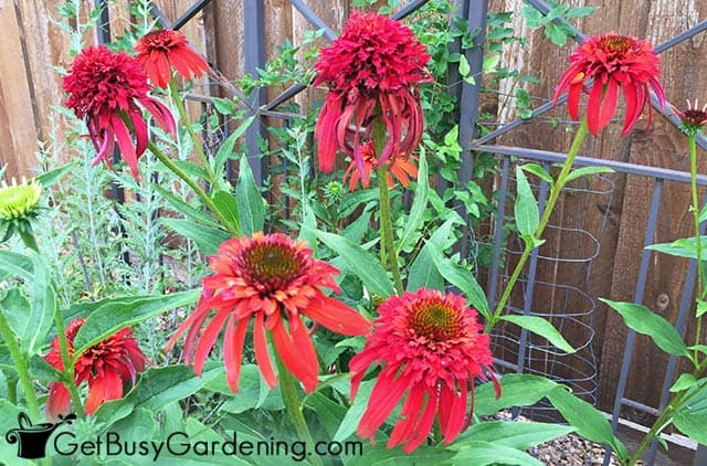 Hot papaya double red coneflowers