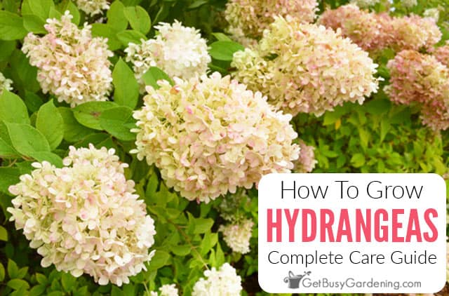 How To Grow Hydrangeas: Complete Care Guide