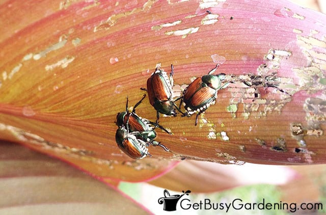 Japanese beetles on canna lilies