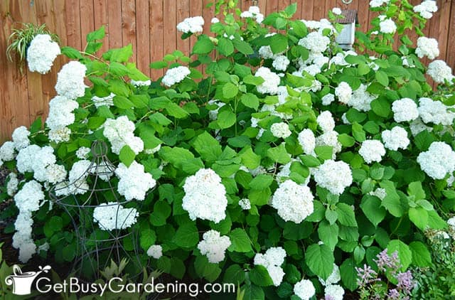 Large Annabelle white hydrangea shrub