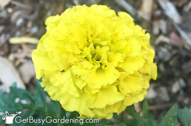 Little yellow marigold flower