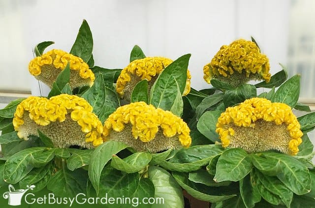 Low growing 'Celosia Armor' yellow